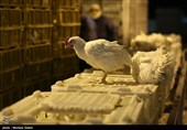 صنعت مرغداری استان چهارمحال و بختیاری زیر سایه بیتدبیری مسئولان پَرپَر میزند