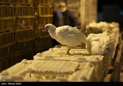 توپ کمبود مرغ در زمین جهاد کشاورزی/ مردم سیستان و بلوچستان برای کدام مرغ صف بکشند!