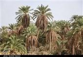 طوایف خوزستان کشت نخل را جایگزین رسم تیراندازی کردند