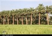 بزرگترین طرح آبیاری نوین باغات کشور در قالب طرح نخلستان در استان بوشهر اجرا شد