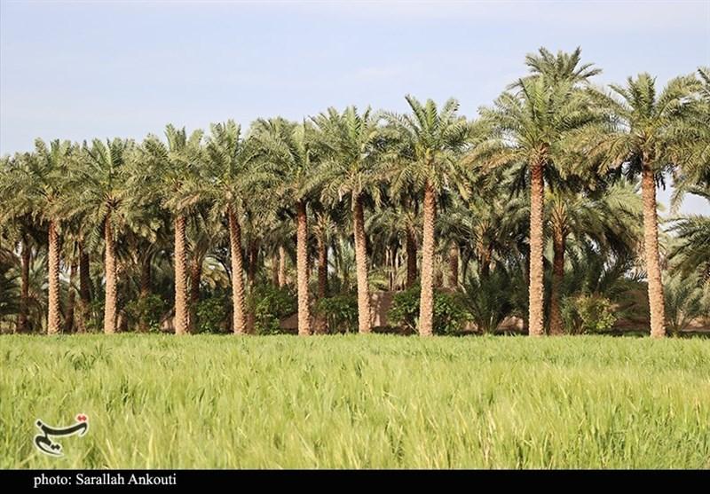 شهرک خرمایی استان بوشهر در دشتستان جانمایی شد
