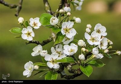 Spring Blooms in Northern Iran Fascinate Travelers