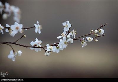 شکوفه های بهاری لرستان