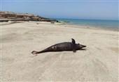 لاشه یک دلفین در ساحل جزیره هنگام پیدا شد