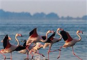 گزارش//تالاب میانکاله؛ محل امن یا قتلگاه پرندگان مهاجر؟!