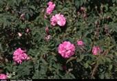 قیمت خرید هر کیلوگرم گل محمدی در کاشان 20 هزار تومان تعیین شد