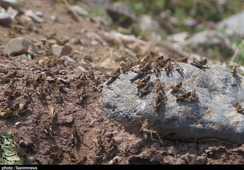 هجوم ملخها به مزارع رودبار گیلان به روایت تصویر