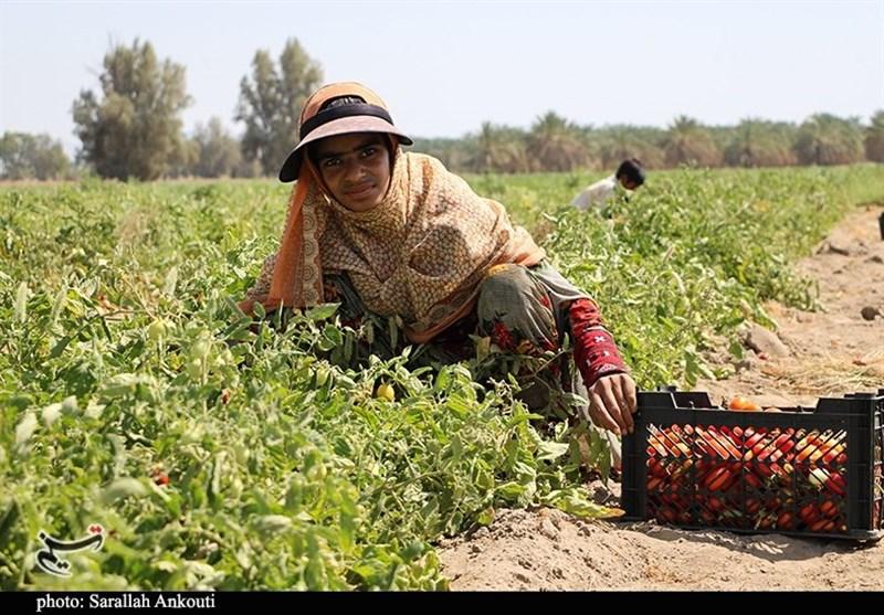 برداشت گوجه فرنگی در مزارع کشاورزی جنوب استان کرمان از دریچه دوربین