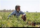 مشکلات کشاورزان جنوب استان کرمان؛ از نبود زیر ساختها تا نبود برنامهای مدون برای حل اساسی مشکلات