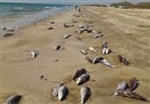 دو احتمال نهایی مرگ گربه ماهیان در ساحل جاسک مشخص شد