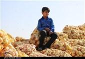 بسیج سازندگی سپاه امام سجاد برای حل مشکلات پیازکاران هرمزگانی دست به کار شد