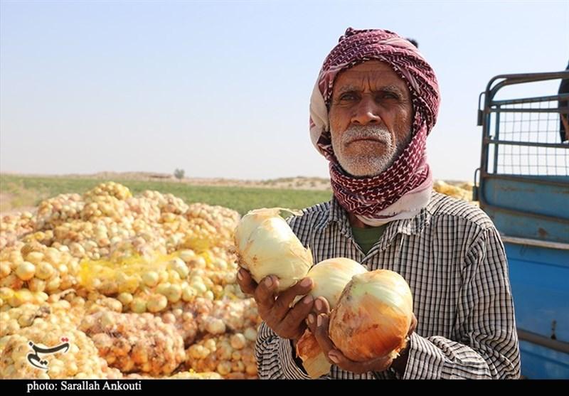 عاقبت پیازکاران جنوب کرمان؛ وقتی حاصل ماهها زحمت کشاورزان در سایه بیتدبیری به باد میرود+ فیلم