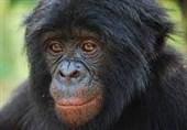فیلم// وضعیت جسمی پیرترین شامپانزه باغ وحش ارم
