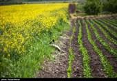 مزارع کلزا در کرمانشاه