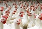 نوسان قیمت مرغ در استان کهگیلویه و بویراحمد باعث نگرانی مردم شده است