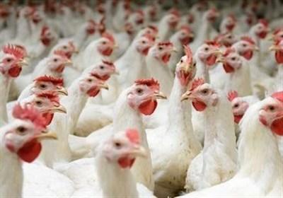سامانه بازارگاه اوضاع مرغداران را بدتر کرده است/ دولت نظارت کند نه تصدیگری