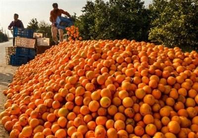 ۳۰ میلیون کیلو پرتقال با تدبیر گندید!