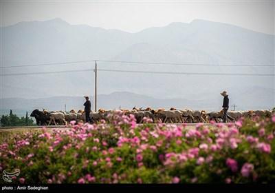 رسم کهن گلابگیری در میمند فارس