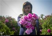 برداشت گل محمدی و گل نسترن از باغات میمند استان فارس + تصاویر
