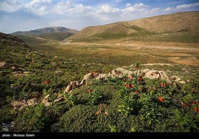 دشت لاله های واژگون دهاقان اصفهان