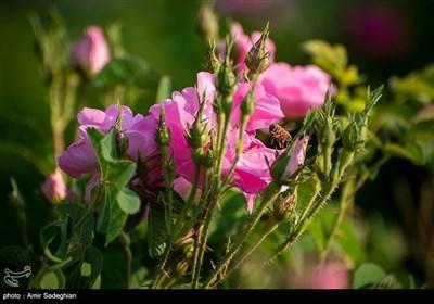 تقطیر الورد فی میمند بمحافظة فارس