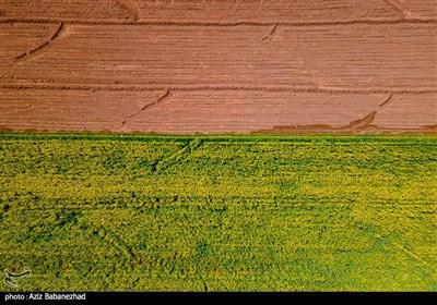 مزارع کلزا روغنی در لرستان