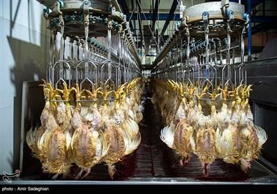 واردات هفتگی ۳ تا ۵ میلیون تخممرغ نطفهدار گوشتی/ مرغ مهرماه ارزان میشود