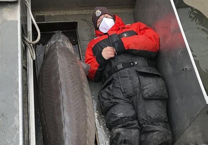 صید ماهی خاویار بزرگ با عمر 100 سال در آمریکا!