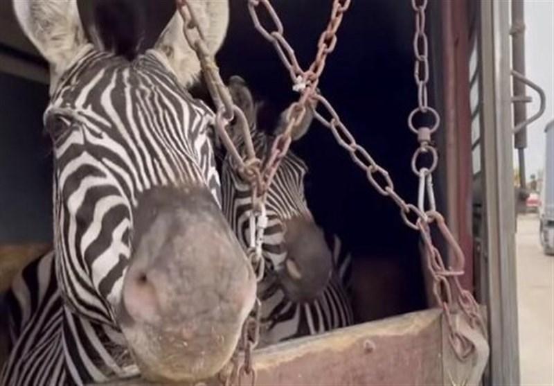 شکایت فعالان محیط زیست از باغ وحش صفادشت درباره تلف شدن یک گورخر آفریقایی