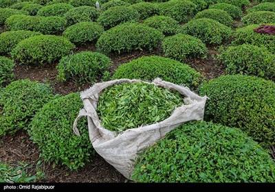 برداشت چای بهاره -گیلان