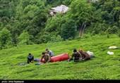 رئیس سازمان چای کشور: 85 درصد مطالبات چایکاران گیلان و مازندران پرداخت شد