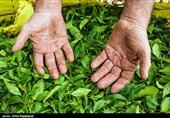 رئیس سازمان چای کشور: 85 درصد از مطالبات چایکاران گیلان و مازندران پرداخت شد