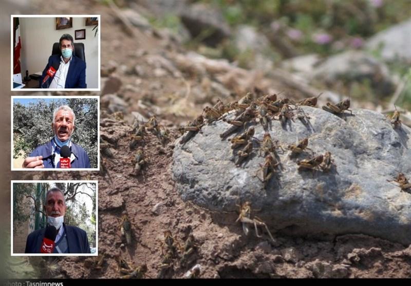هجوم میلیونها ملخ مراکشی به مزارع رودبار گیلان / خسارتها میلیاردی است + فیلم
