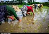 هزینه تولید هر کیلو برنج ایرانی به 42 هزار تومان رسید؟