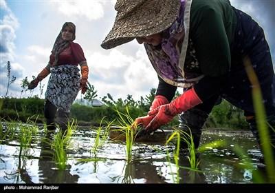 نشاء سنتی برنج گیلان