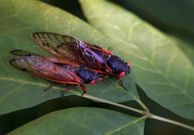 حشرهای عجیب که هر17 سال از زمین بیرون میآید!