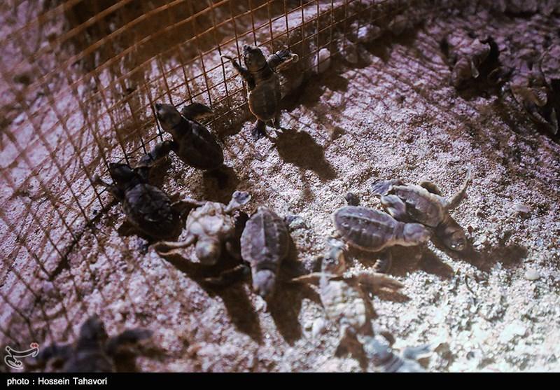 تولد جوجه لاکپشت های پوزه عقابی-کیش