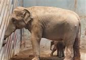 تولد نخستین بچه فیل آسیایی در باغ وحش ارم + فیلم