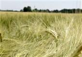 50 رقم بذر جدید گیاهان زراعی و باغی در کشور رونمایی میشود / انعقاد قرارداد با کشورهای همسایه برای صادرات بذر