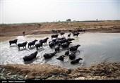 خوراک دام رایگان بین دامداران دشت آزادگان توزیع میشود