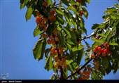 اجرای طرح توسعه باغات استان ایلام در اراضی شیبدار سبب رونق تولید میشود