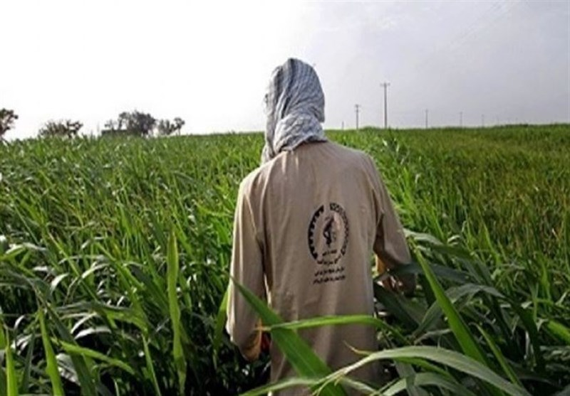 15 هزار هکتار از اراضی گندم دیم و آبی شهرستان زنجان تحت پایش و رصد آفت سن قرار گرفت