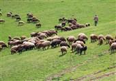 لزوم خرید تضمینی دام عشایر استان ایلام/ مسئولان از متضررشدن عشایر جلوگیری کنند
