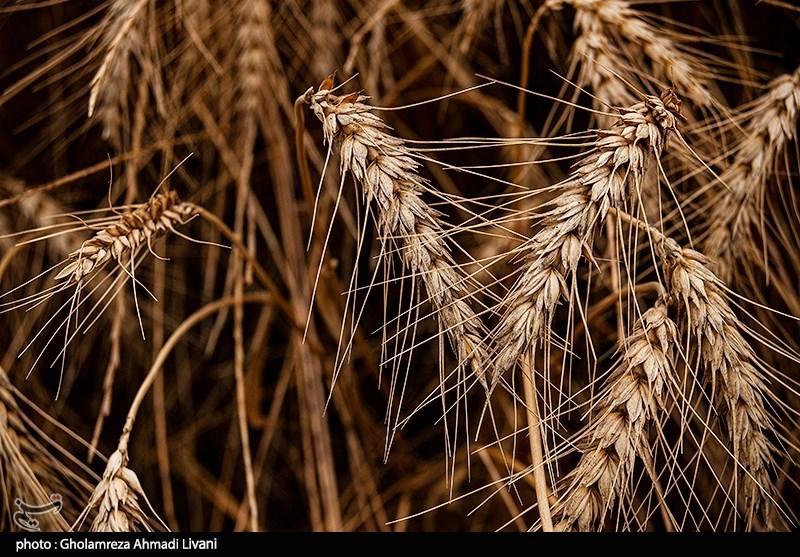 خرید گندم در استان خراسان جنوبی کاهش یافت