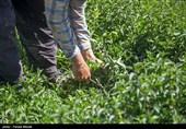 کارآفرینی با کشت گیاهان دارویی / نبود سرمایهگذار و صنعت فرآوری چالش اصلی است