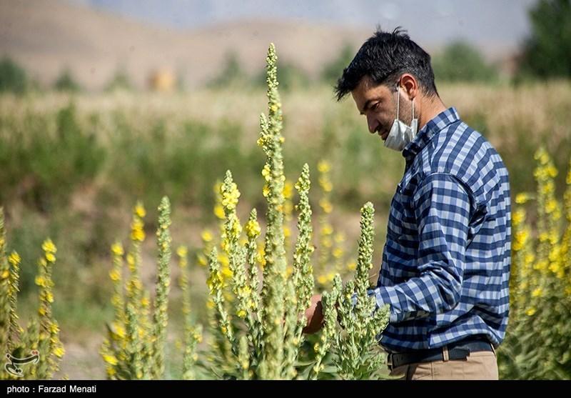بسیج علمی سپاه استان زنجان به کشت گیاهان دارویی ورود کرد
