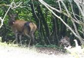 نخستین گوساله گوزن قرمز در سایت جنگل فندقلو اردبیل متولد شد