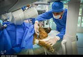 اولین عمل جراحی رباتیک از راه دور ایران و تست حیوانی ربات بومی سازی شده جراحی از راه دور سینا ساخت متخصصان ایران