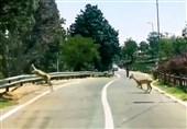 فیلم// عبور آهوها از مسیر خودرویی پارک سرخهحصار تهران!