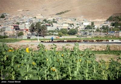مزرعه آفتابگردان در کرمانشاه